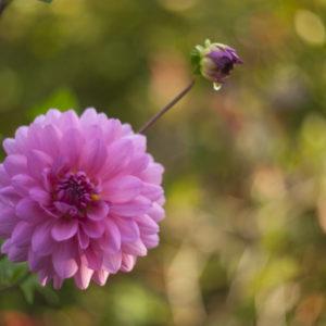 Marianne dams - flowers - dahlia