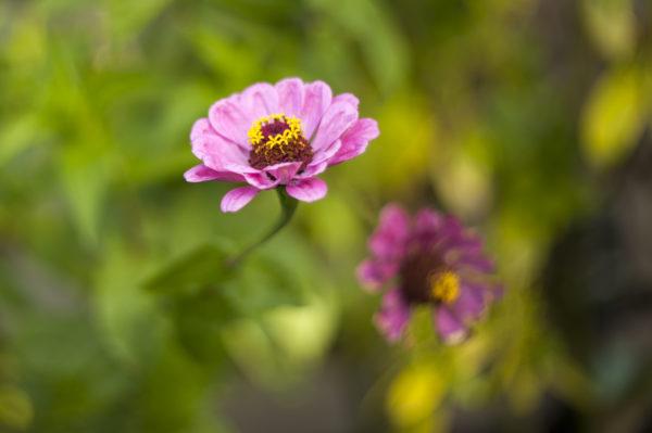 Marianne dams - flowers - zinia