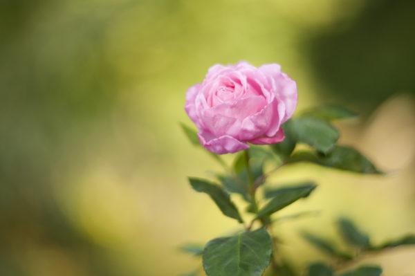 Marianne dams - flowers - roos