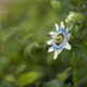 Marianne dams - flowers - passieflora