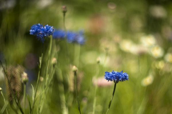 Marianne dams - flowers - korenbloemen