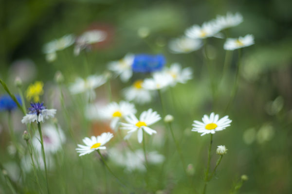 Marianne dams - flowers - kamille in veld
