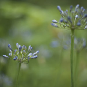 Marianne dams - flowers - agapanthus