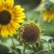 Marianne dams - flowers - zonnebloemen