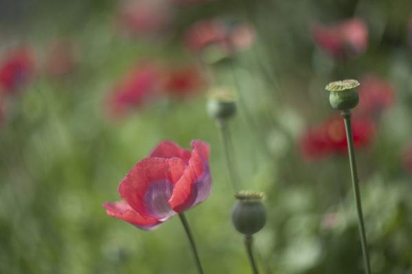 Marianne dams - flowers - klaprozen