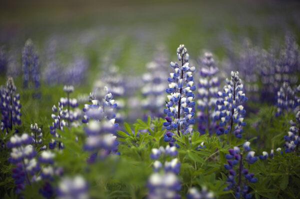 marianne dams - nature - lupine flower